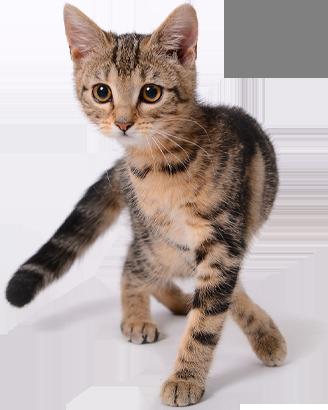 quais as vacinas para gatos atende pet